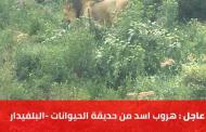 عاجل : هروب أسد من حديقة الحيوانات